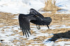 Raven flying close to the ground in Moosonee