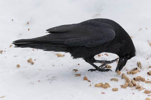 Raven eating peanuts in the shell.