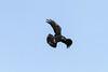 Raven in flight, banking, beak open.