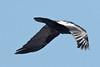 Raven in flight 2011 April 19th