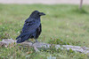 Raven on piece of wood.