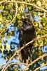 Raven perched on a tree branch.