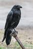 Wet raven on water shutoff