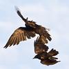 Raven in flight being harrassed by crow (smaller bird).