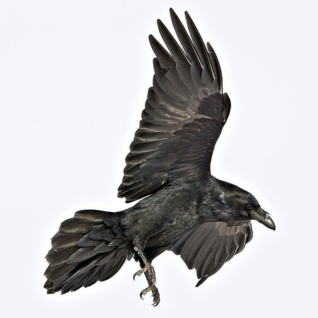 Raven preparing to land, legs extended, wings vertical, cropped to 2016 pixels square