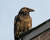 Raven on the corner of roof, dirty beak.