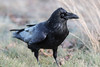 Raven on the ground, nictating membrane partially over eye.