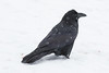 Raven in the snow.
