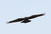 Juvenile raven in flight, wings out, tail spread.