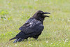 Raven in the grass with beak open.