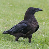 Juvenile raven on the ground.