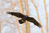 Raven in flight, both wings out, trees in background (blurry)
