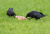Juvenile raven at left tugging on a piece of meat with adult raven.