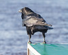 Raven standing at the corner of a taxi boat cover.