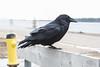 Raven on parking lot railing.