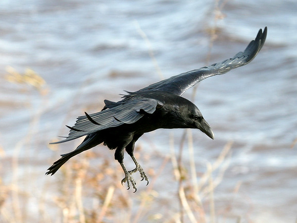 Raven about to land, water in background 2004 October 23