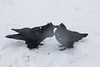Two ravens close together in snow storm. Some grooming behaviour.