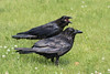 Adult raven in foreground, juvenile (out of focus) behind with beak open.