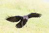 Juvenile raven landing, beak open showing pink mouth.