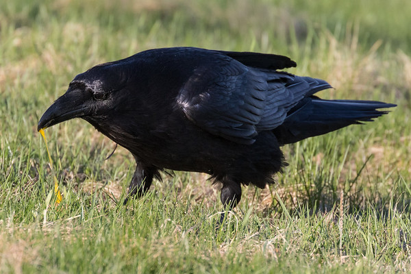Raven eating an egg.