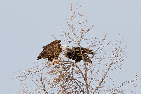 Raven flying past bald eagle in tree top