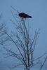 Raven realizing it should have picked a larger tree to perch in.