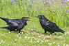 Juvenile raven at left begging for food from adult.
