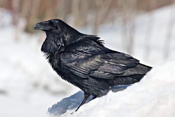 Raven standing on snowbank