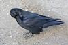 Raven preening.