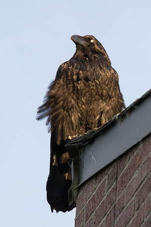 Raven on the corner of roof, dirty beak, nictating membrane over eye.