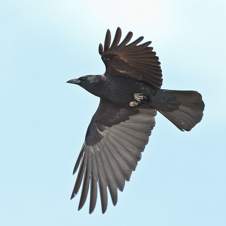 Crow overhead, one wing stretched out.