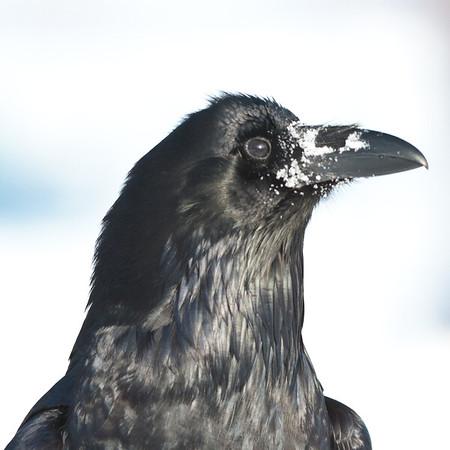 Raven, on ground, heat shot, snow on beak.