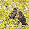 Two ravens in a tree.