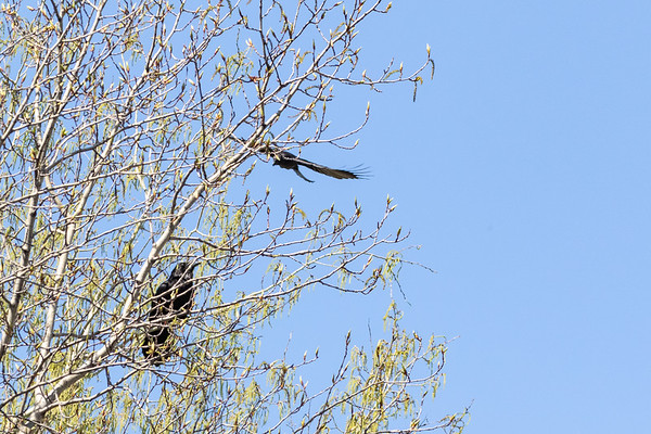 Crow flying down to harass a raven in a tree