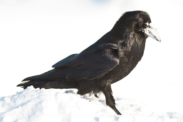 Raven, feathers chuffed up,on snow.