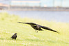 Juvenile raven in flight, another juvenile on the ground.