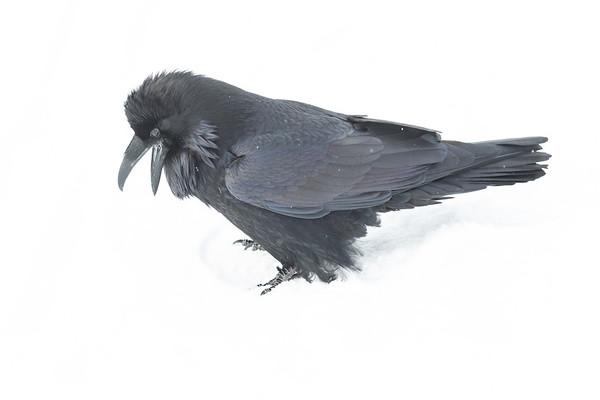Raven in snow. Beak open.