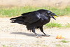 Raven eating eggs. Beak open.