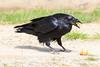Raven eating eggs. Beak open.