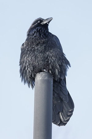 Raven sitting on vent stack. Windy day, head turned slightly.