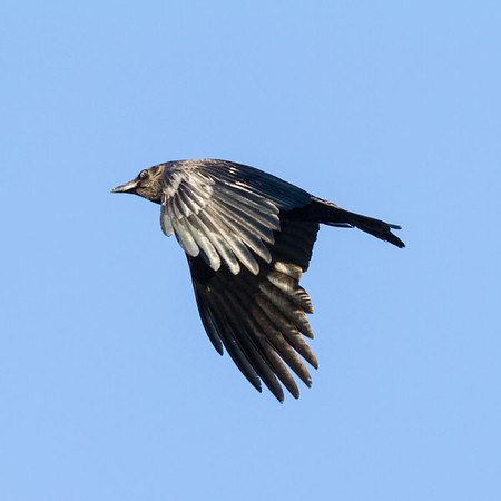 Crow in flight. Wings down.
