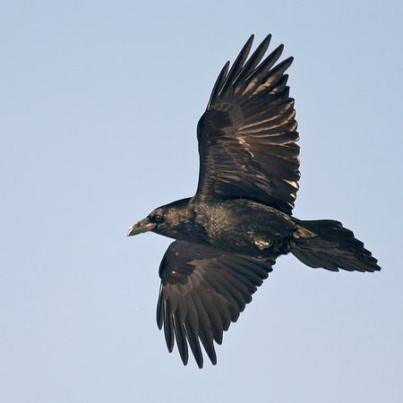Raven flying against blue sky, flying to left, banking, both wings visible