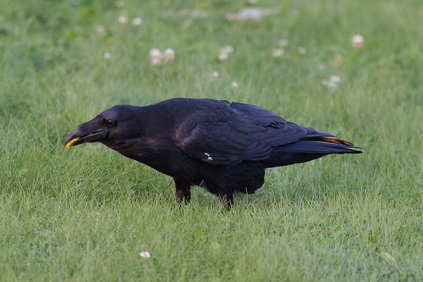 Raven on ground, eating egg.