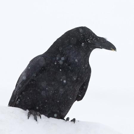 Raven in heavy snowfall 2011