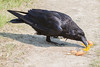 Raven eating egg yolk on the ground.