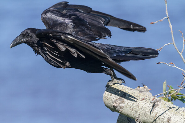 Raven leaping off a log.