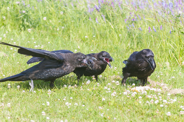 Two juvenile ravens at left wanting food from adult.