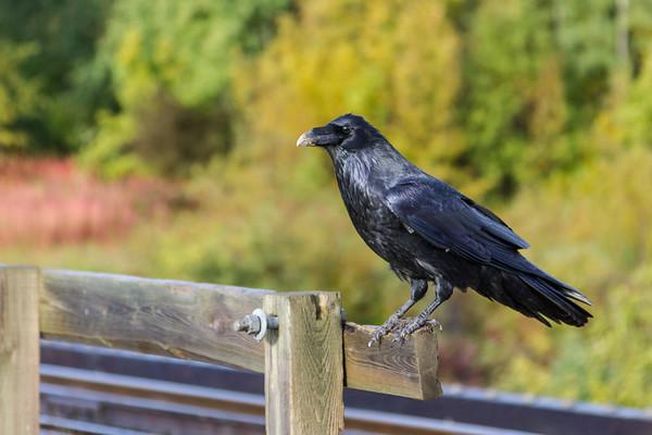 Raven on railway bridge over Store Creek.