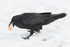 Raven picking up a brown egg from shallow snow.