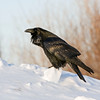 Raven standing on chunk of snow, chuffed up, square crop, 1024 pixel version is tighter crop